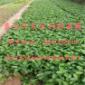 草莓苗价格 草莓苗批发 草莓苗基地