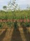 梨树苗价格 梨树苗基地