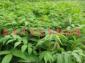 香椿树苗 红油香椿树苗价格